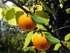 От осинки не родятся апельсинки