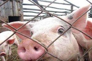 Африканская чума свиней в Витебской области