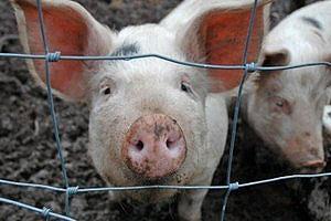 С заведением свиней нужно повременить