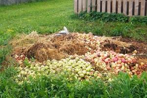 Старт взяла заготовка яблок