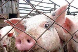 Африканская чума свиней: постигшая ранее беда не покидает район