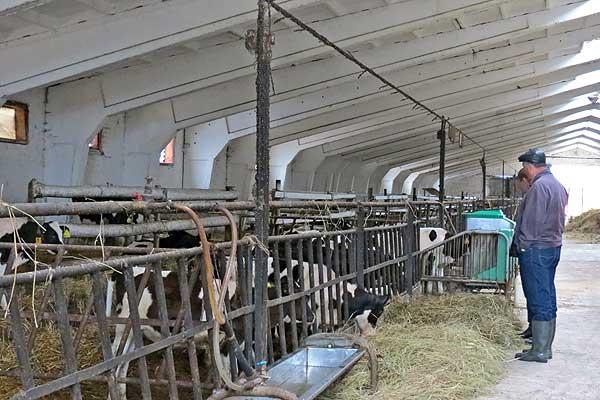 Животноводство: важны все этапы — от теленка до удойной коровы
