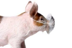 Как защитить своих свиней от АЧС