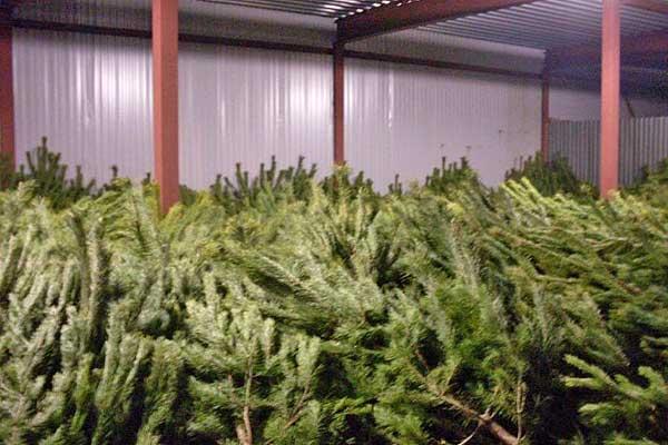 Стоимость новогодней ели в Толочинском районе составит от 70000 рублей