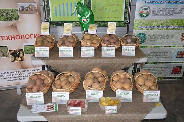 Картофельные поля в Толочине стали испытательным полигоном для отечественных селекционеров