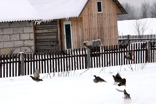 Возродить забытую традицию создания станций зимней передержки серой куропатки