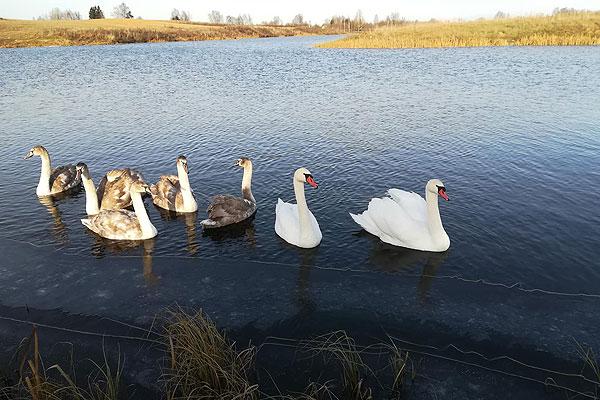 Может ли фотоловушка «Силок» спасти доверчивых лебедей?