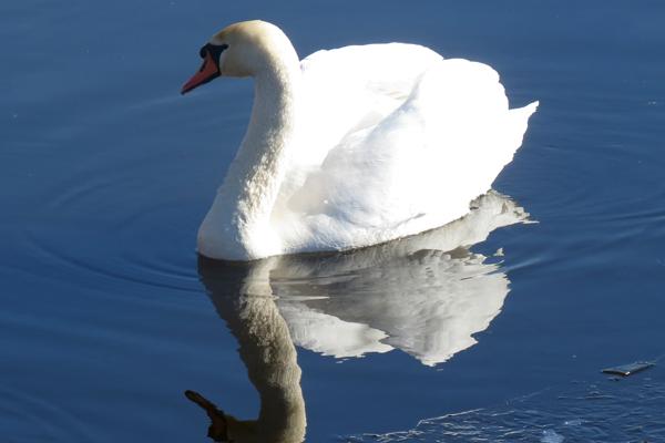 Нужно ли подкармливать лебедей весной